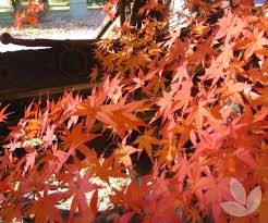 Japanese Maple Growth Chart Acer Palmatum Japanese Maple Trees Speciality Trees