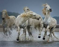 wild horses running through water. Plain Through Wild Horses Running Through Water  In  Through And U