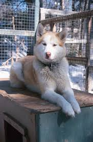 dark red husky puppy. Perfect Puppy Hereu0027s A Red Husky With Considerable Facial Mask Inside Dark Red Husky Puppy H