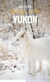 best wildlife encounters images travel advice  meet the animals from the yukon wildlife preserve