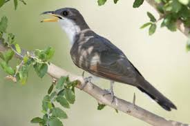 this cuckoo bird s crazy journey could help scientists save its why the cuckoo bird isn t crazy about climate change