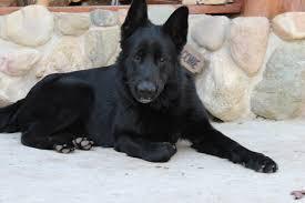 black german shepherd puppies for sale. Beautiful Shepherd On Black German Shepherd Puppies For Sale E
