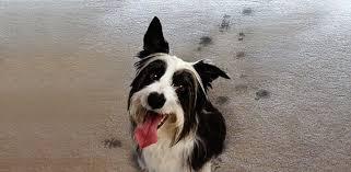 dirty dog paw prints on carpet floor