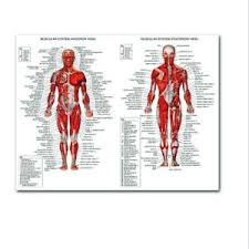 Details About Muscle System Poster Acupoint Anatomy Chart Human Body Educational Home Hangings