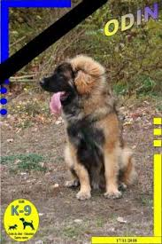 Leonberger Puppy Growth Chart Puppy Growth Chart Odin Leonberg Male