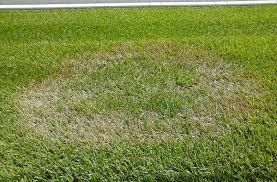 Brown Patch Disease Brown Patch Wikipedia