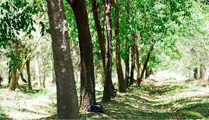 Aussie Sandalwood Growers Can Cash In Now After 15 Year Wait