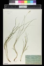 SEINet Portal Network - Carex brizoides