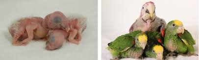Parrot Chick Weight Growth Chart Hari