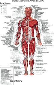 Anatomy Of The Human Body Muscles Human Body Muscle Anatomy