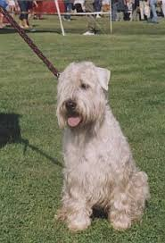 Wheaten Terrier Size Chart Soft Coated Wheaten Terrier Wire Basket Dog Muzzles Size