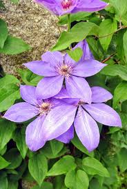 The Martha Stewart Blog Blog Archive Blooming Clematis