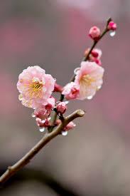 「梅の花 無料」の画像検索結果