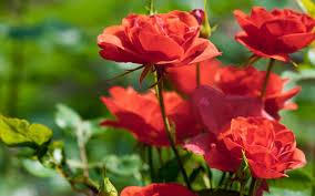 Image result for rose bush