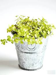 house plant with round green leaves forms a nearly flat carpet of small round leaves blooms