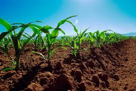 Resultado de imagen para foto de sembradio de maiz