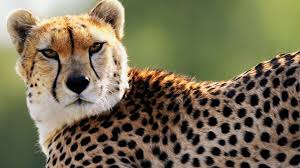1920x1080 cheetah wallpapers hd pixels talk