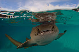 baby hammerhead sharks for sale. Brilliant Sharks Pet Hammerhead Shark  Photo8 And Baby Hammerhead Sharks For Sale