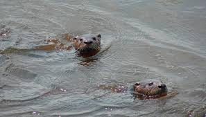two otters swimming image by pix by marti from fotolia com