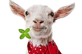 funny goat art print on canvas wall decor poster 16x24 inches