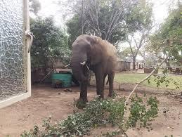 elephant in garden in kruger national park south africa