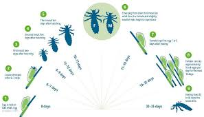 How Long Can Head Lice Live f The Human Host