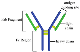 Image result for structure of antibody