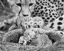 baby white cheetah.  Baby Image 0 And Baby White Cheetah 8