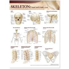 Atlas Anatomy Skeletal Head Trunk Lam By Anatomical Chart Company