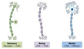 Stimulus Response Bioninja
