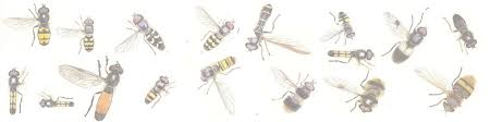 Bee And Wasp Identification Chart Uk Mic Uk Hoverflies All About Hoverflies