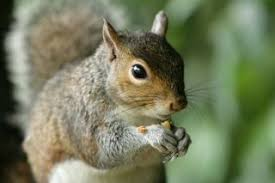 Grey Squirrel Age Chart Squirrels Diet Habits Other Facts Live Science