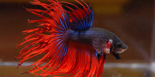 Betta Fish Chart Betta Fish Series Types Of Betta Fish The Aquarium Guide