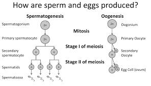 Flow Chart Of Oogenesis 2019