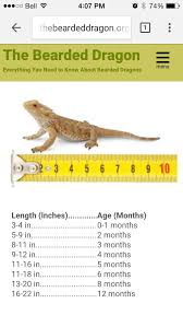 Length And Corresponding Age Bearded Dragon Bearded