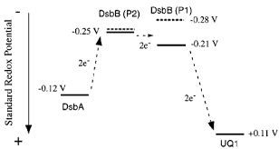 Intrinsic Redox Potential Values Of The Dsbb Redox Active