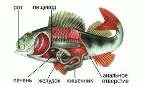 Биология класс Классы рыб Пищеварительная система рыб
