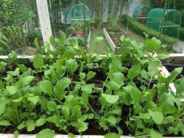 arugula is an easy to grow and versatile vegetable