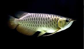 Displaying Conspicuous Consumption Through The Arowana Fish
