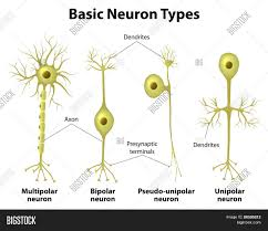 Types Neurons Vector Photo Free Trial Bigstock