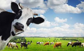 essay on the cow give a cow its due modern farmer