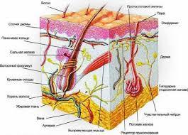 СТРОЕНИЕ И СВОЙСТВА КОЖИ ЧЕЛОВЕКА как часто обновляются клетки  Период обновления кожи человека