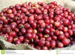 Cherry bean coffee stock image. Image of coffee, cherry - 61946217