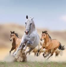 wild white horses running free. Exellent Horses Intended Wild White Horses Running Free S