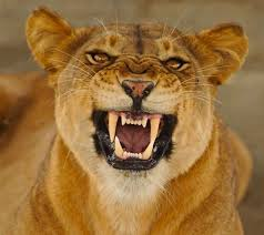 lioness roar front view. Fine Lioness Image Result For Lioness Snarling In Lioness Roar Front View O