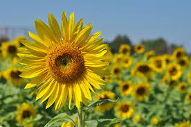 a pick your own sunflower farm in shelburne