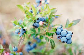 Blueberry Varieties That Require Cross Pollination Home