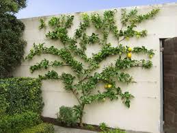 Apples Stepover Horizontal Cordon TrainingRHS GardeningGrowing Cordon Fruit Trees