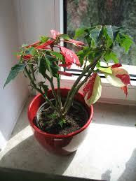 Weihnachtsstern Blätter Wachsen Neu Bleiben Aber Klein