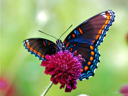 real beautiful colorful butterflies. Perfect Real Butterfly Wallpapers Colorful Wallpaper With Real Beautiful Butterflies H